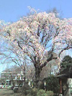 Sakurainogasiram1_1